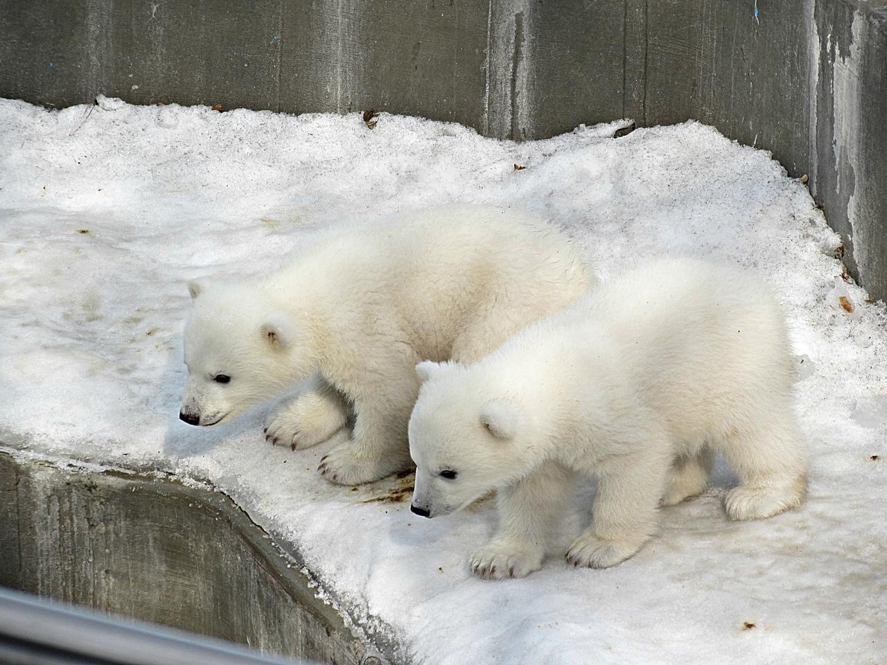 фото белых медвежат