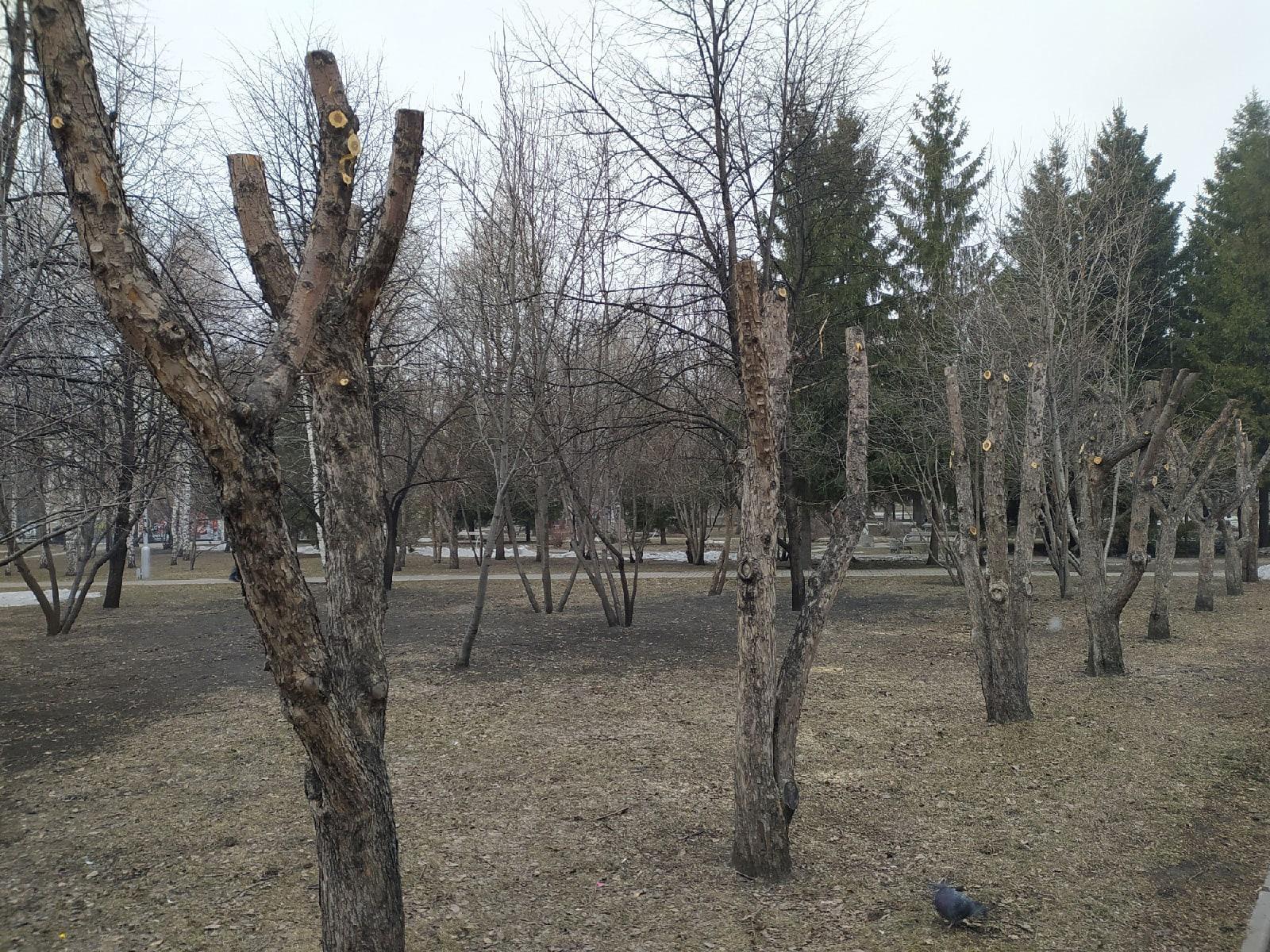 фото В Первомайском сквере Новосибирска обрезали деревья – как в фильме ужасов 3
