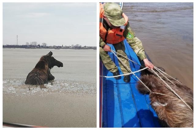 фото Годовалого лосёнка спасли со льдины под Новосибирском 2