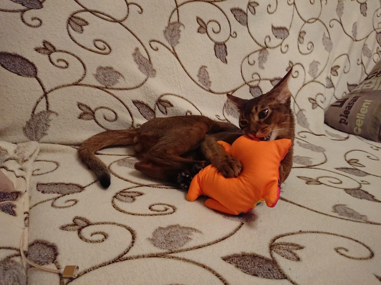 фото Брутальный акробат и просто красавец абиссинской породы: кот-блогер Макс стал шестым «Главным котиком Новосибирска» 3