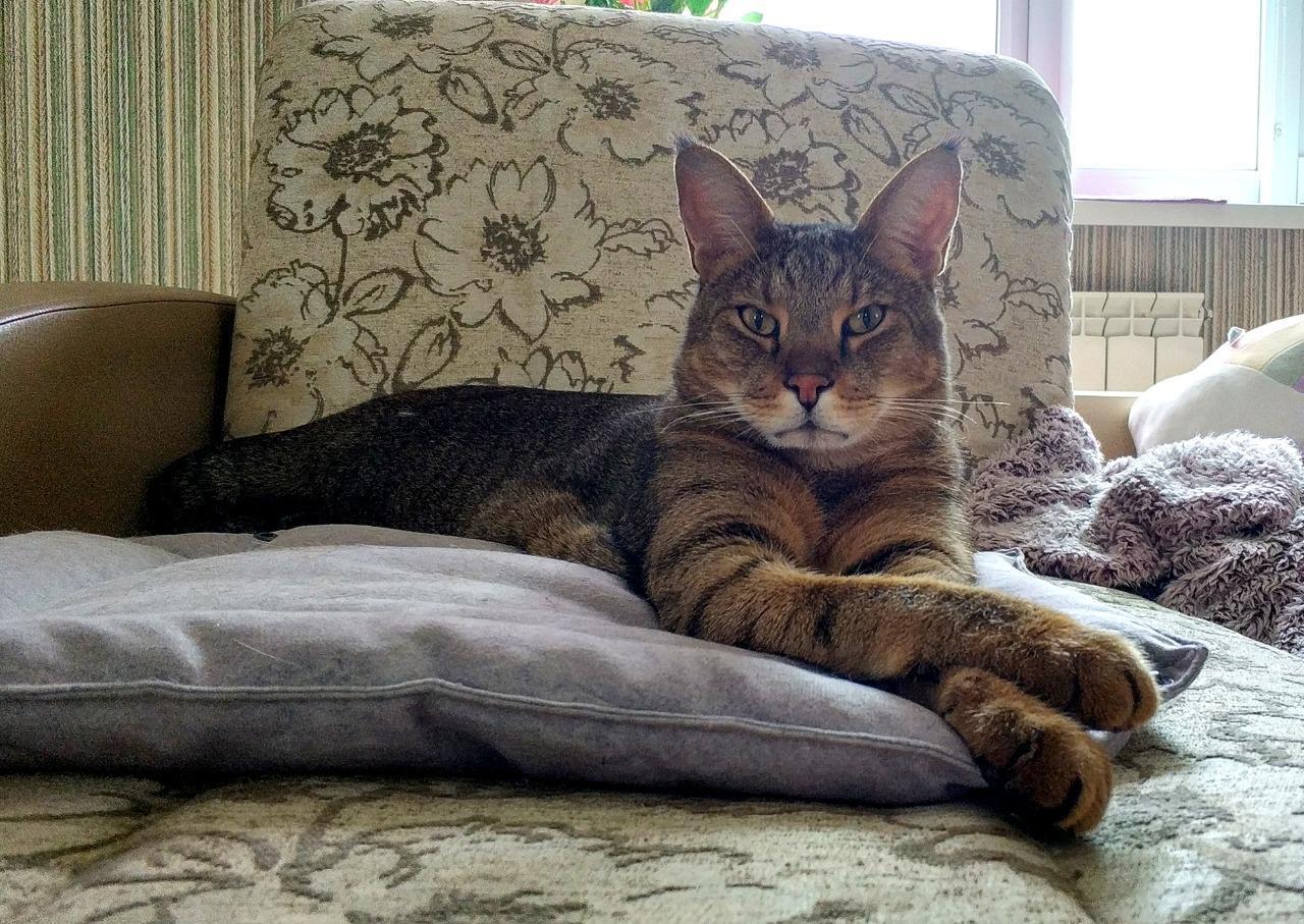 фото Котик редкой породы чаузи забрал вкусный приз конкурса «Главный котик Новосибирска-2021» 2