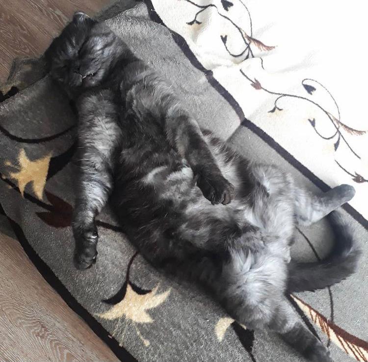 фото «Главный котик Омска-2021»: как благородный кот с греческим именем Максимиан помог хозяйке сдать важный экзамен и не провалить сессию 5