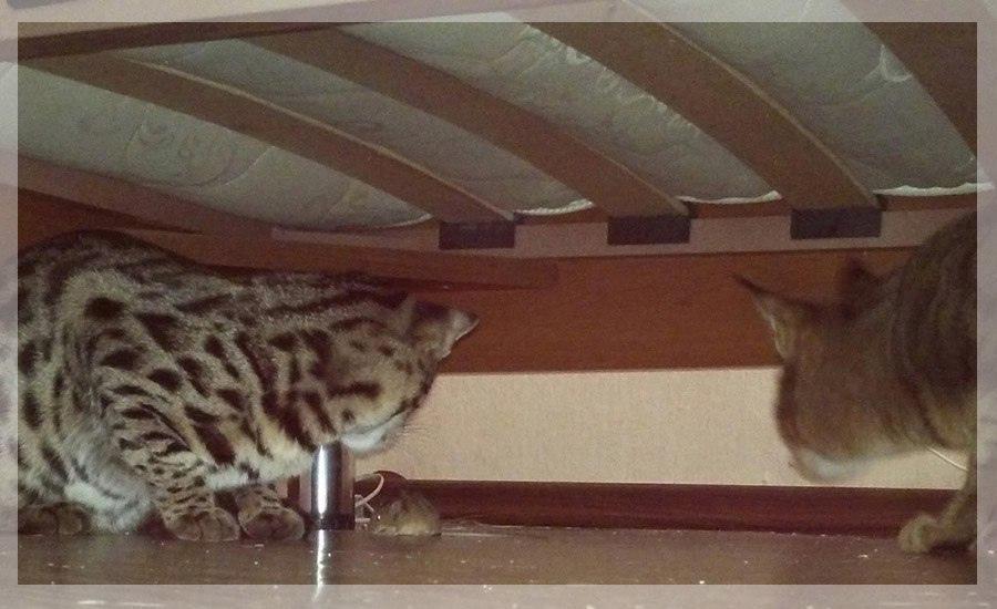 фото «Я думала, вытяжка на плиту рухнет»: как седьмой «Главный котик Новосибирска» породы чаузи чуть не разрушил квартиру хозяйки и перевернул всю её жизнь 8