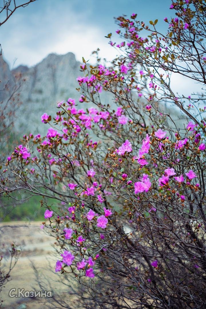 фото Маральник расцвёл на Алтае: 5 фото нежных цветов с заснеженных гор 4