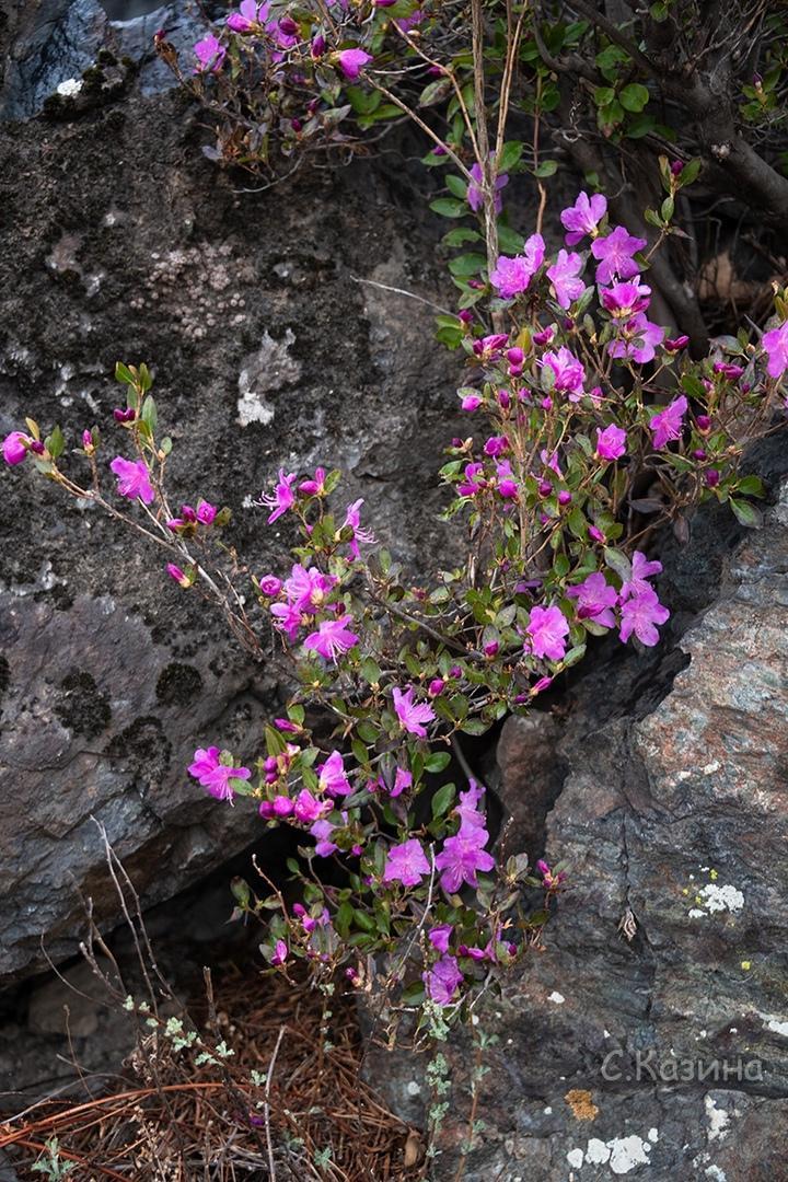 фото Маральник расцвёл на Алтае: 5 фото нежных цветов с заснеженных гор 6