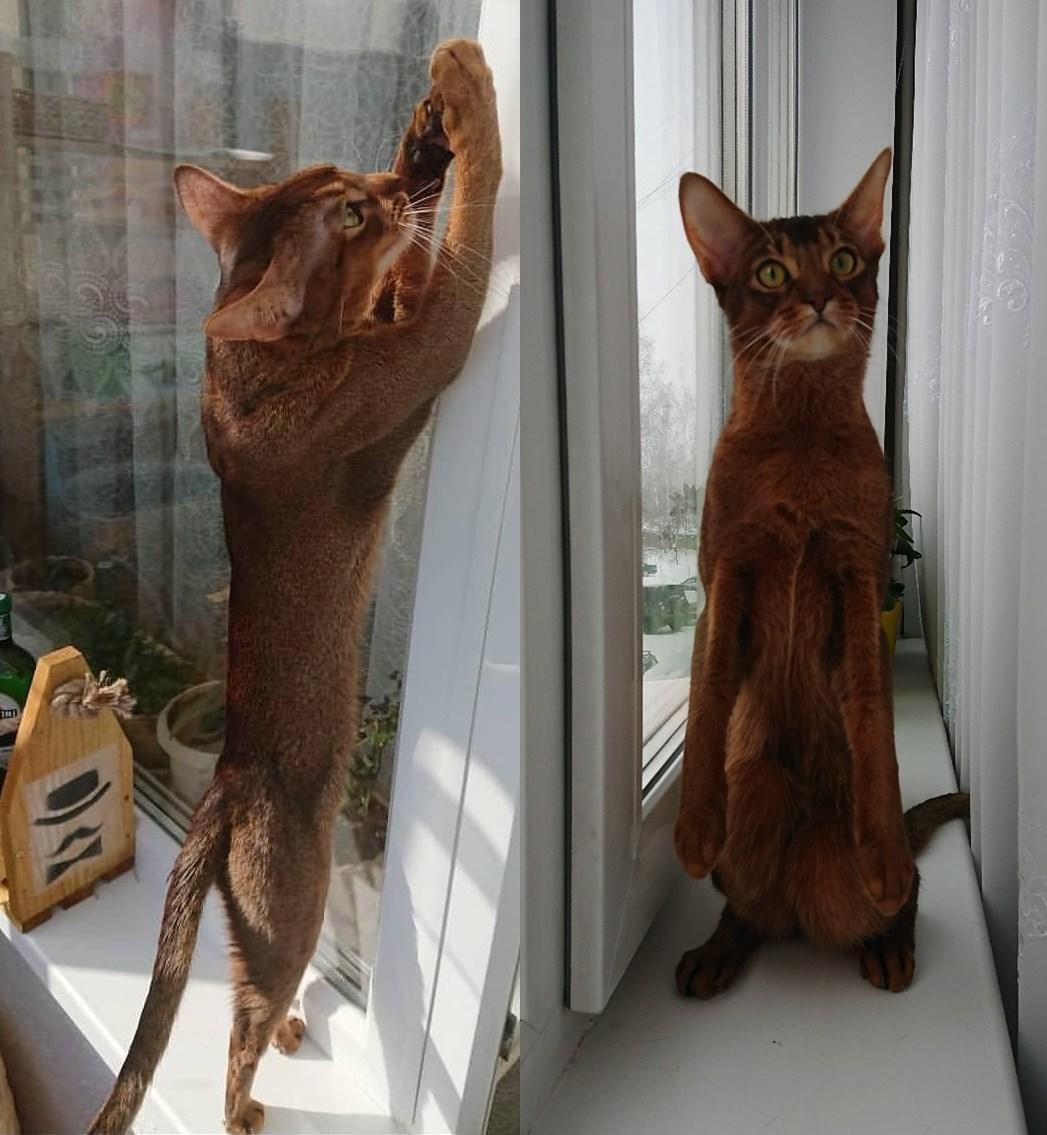 фото Брутальный акробат и просто красавец абиссинской породы: кот-блогер Макс стал шестым «Главным котиком Новосибирска» 8