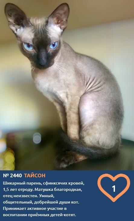 фото Лысые участники конкурса «Главный котик Новосибирска»: зачем сибиряки заводят экзотических сфинксов 5
