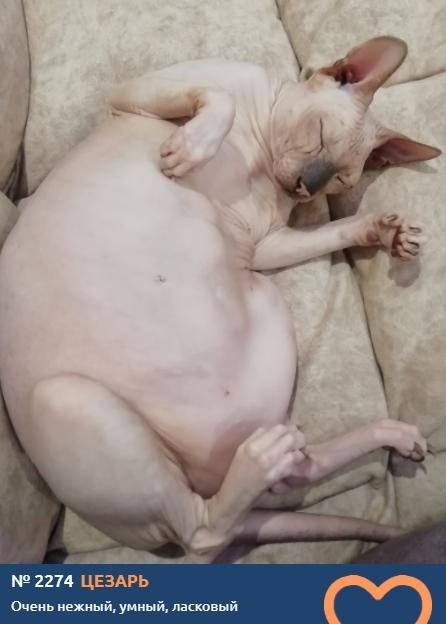 фото Лысые участники конкурса «Главный котик Новосибирска»: зачем сибиряки заводят экзотических сфинксов 8