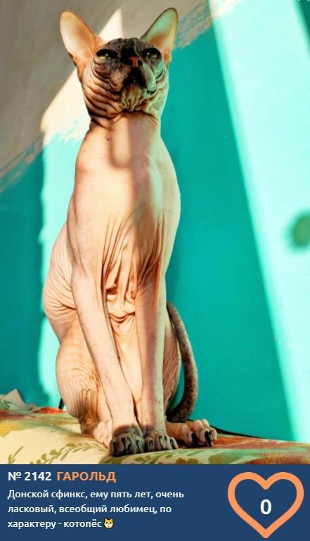 фото Лысые участники конкурса «Главный котик Новосибирска»: зачем сибиряки заводят экзотических сфинксов 9