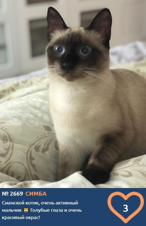 фото Сиамские кошки самые популярные в мире: знакомимся с голосистыми и своенравными участниками конкурса «Главный котик Новосибирска-2021» 3