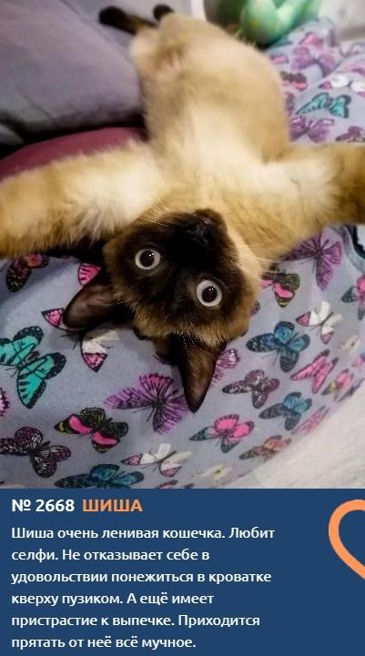 фото Сиамские кошки самые популярные в мире: знакомимся с голосистыми и своенравными участниками конкурса «Главный котик Новосибирска-2021» 5