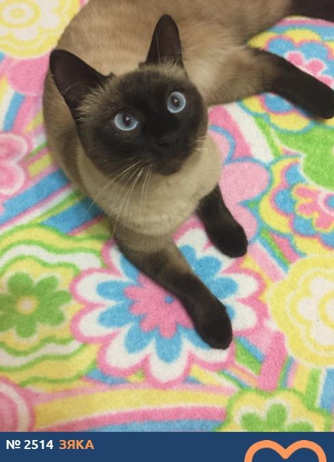 фото Сиамские кошки самые популярные в мире: знакомимся с голосистыми и своенравными участниками конкурса «Главный котик Новосибирска-2021» 2