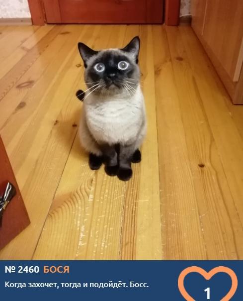 фото Сиамские кошки самые популярные в мире: знакомимся с голосистыми и своенравными участниками конкурса «Главный котик Новосибирска-2021» 7