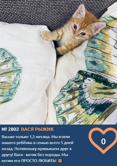 фото Голубоглазый 1,5-месячный озорник Вася Рыжик вступил в борьбу за звание «Главного котика Омска-2021» 2