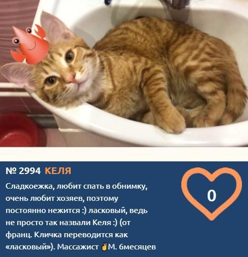 фото Массажист-сладкоежка Келя вступил в борьбу за звание «Главного котика Новосибирска-2021» 2