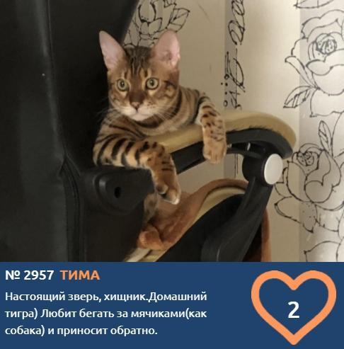 Фото «Домашнего тигра» зарегистрировали в конкурсе «Главный котик Томска-2021» 2