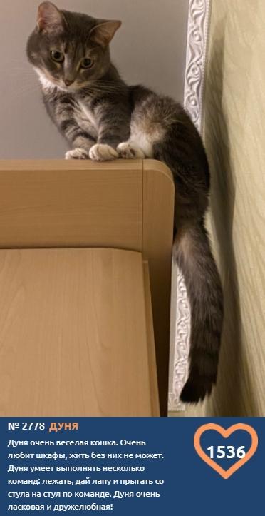 Фото На новой неделе голосования в конкурсе «Главный котик Томска-2021» лидирует озорная Дуня 2