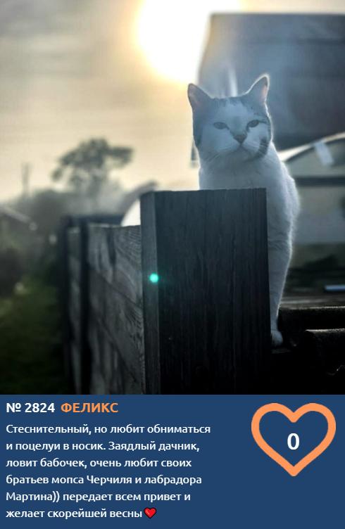 фото Участник конкурса «Главный котик Новосибирска-2021» Феликс передаёт привет мопсу Черчилю и лабрадору Мартину 2