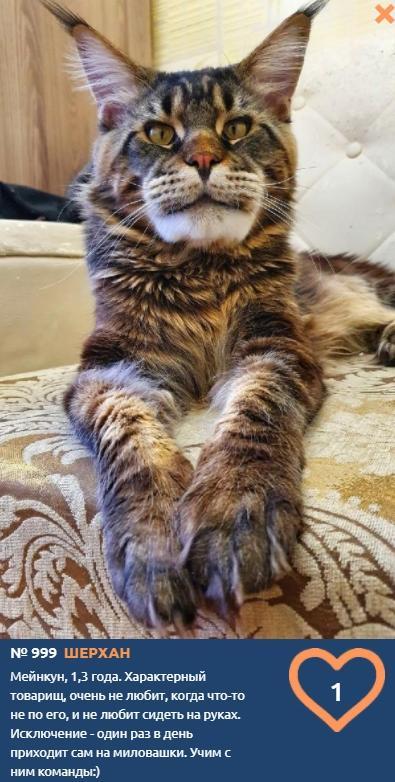 Фото Шерхан родом из Северной Америки борется за голоса омичей в конкурсе «Главный котик-2021» 2