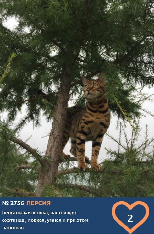 Фото Лесная амазонка Персия борется за выход в финал в конкурсе «Главный котик Томска-2021» 2