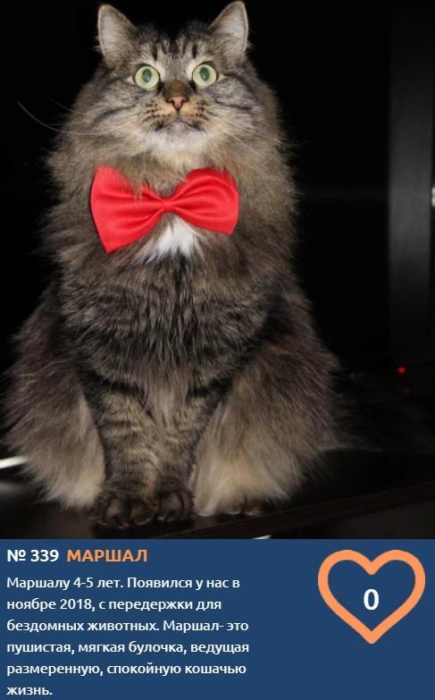Фото Пушистый красавец Маршал хочет выиграть годовой запас корма и стать «Главным котиком Томска» 2