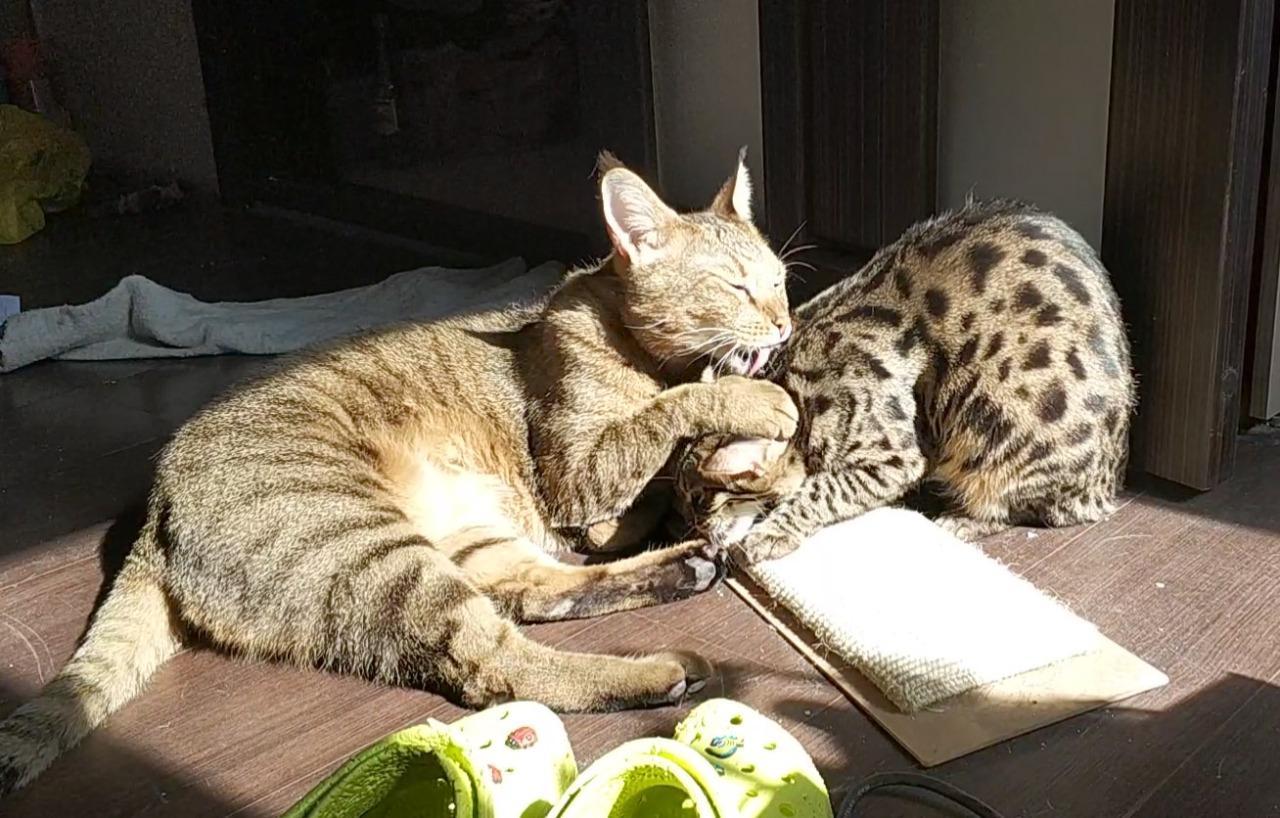 фото «Я думала, вытяжка на плиту рухнет»: как седьмой «Главный котик Новосибирска» породы чаузи чуть не разрушил квартиру хозяйки и перевернул всю её жизнь 5