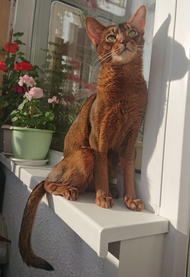 фото Брутальный акробат и просто красавец абиссинской породы: кот-блогер Макс стал шестым «Главным котиком Новосибирска» 2
