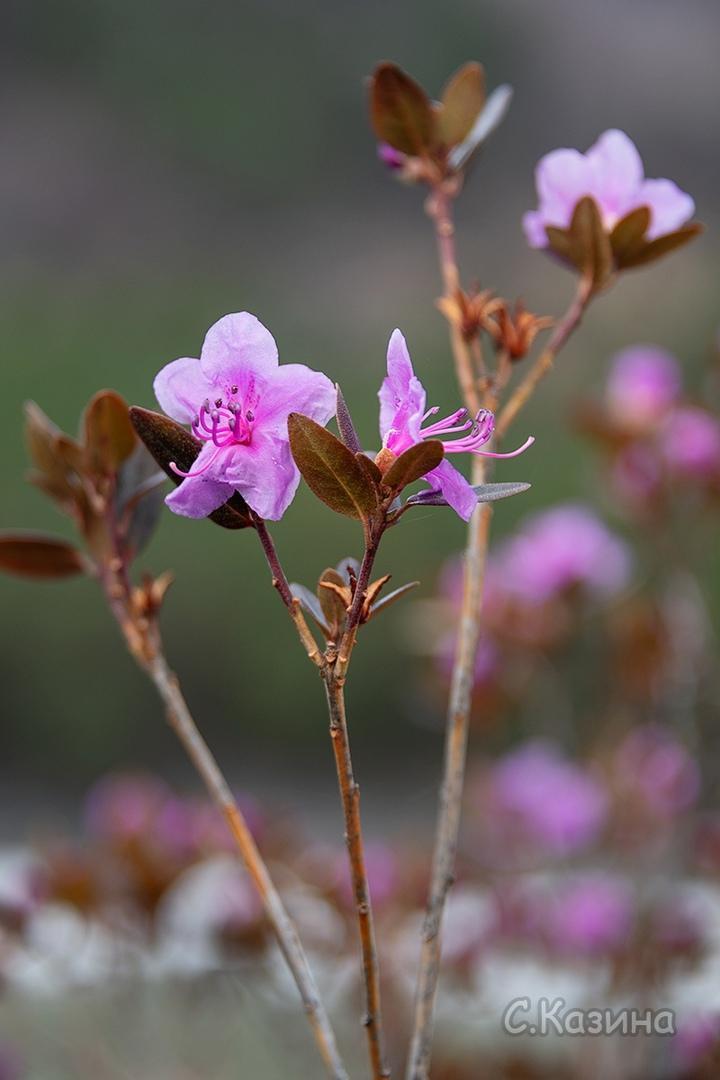 фото Маральник расцвёл на Алтае: 5 фото нежных цветов с заснеженных гор 3