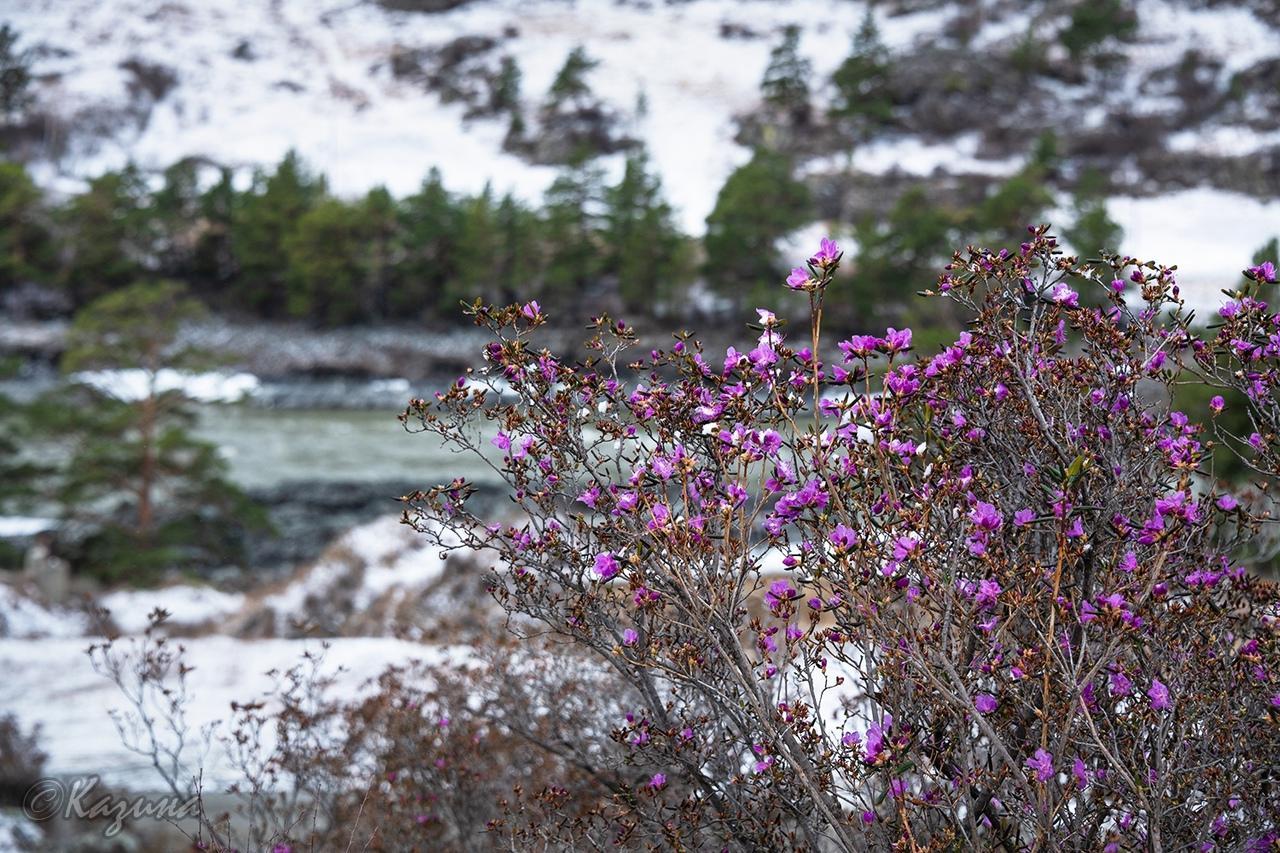фото Маральник расцвёл на Алтае: 5 фото нежных цветов с заснеженных гор 5