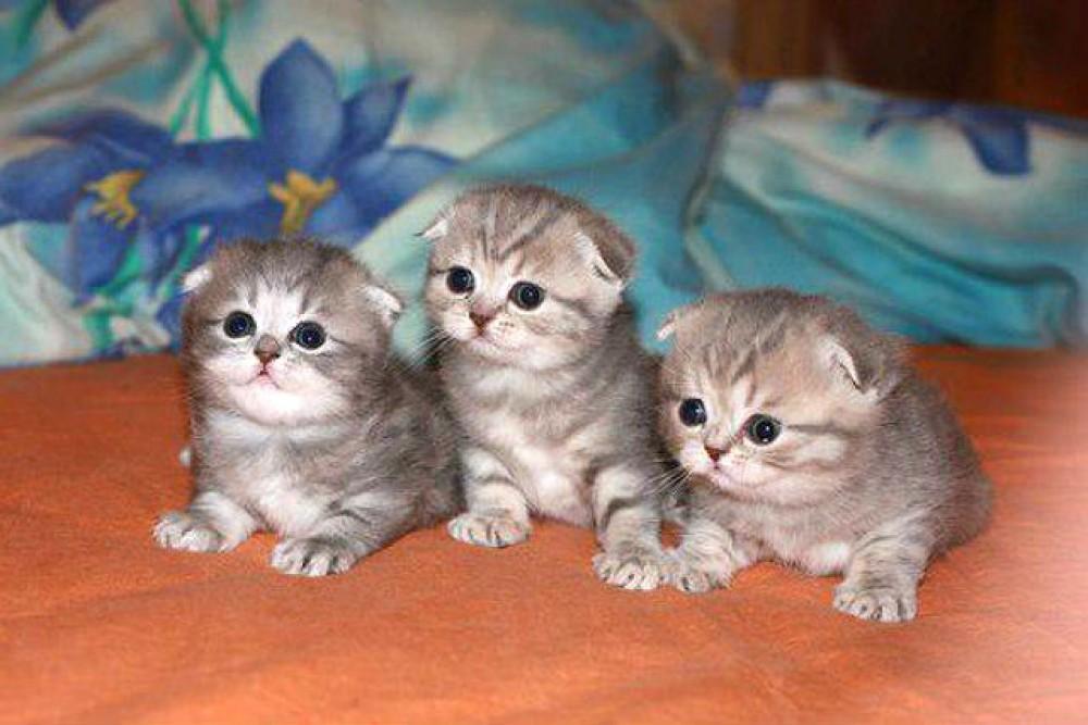 картинки маленькие котята вислоухие котята варшава