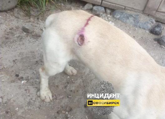 Фото Жители Новосибирска стреляют в бродячих собак 2