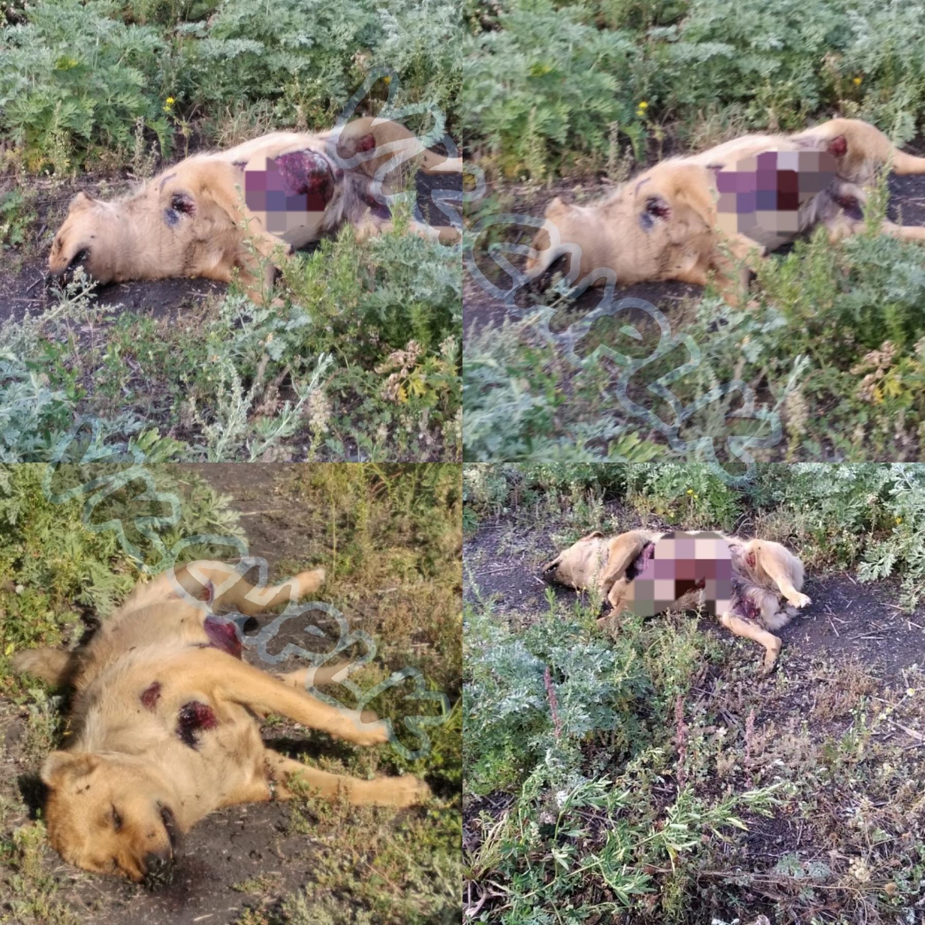 Фото «Настоящий изверг» в Кемеровской области обнаружили очередной труп растерзанной собаки 2