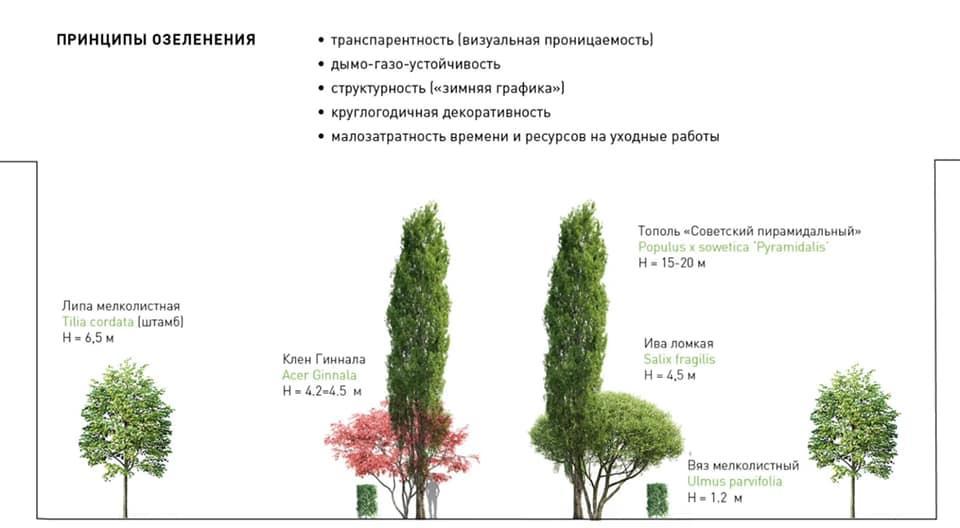 фото В мэрии объяснили вырубку берёз на Красном проспекте в Новосибирске 2