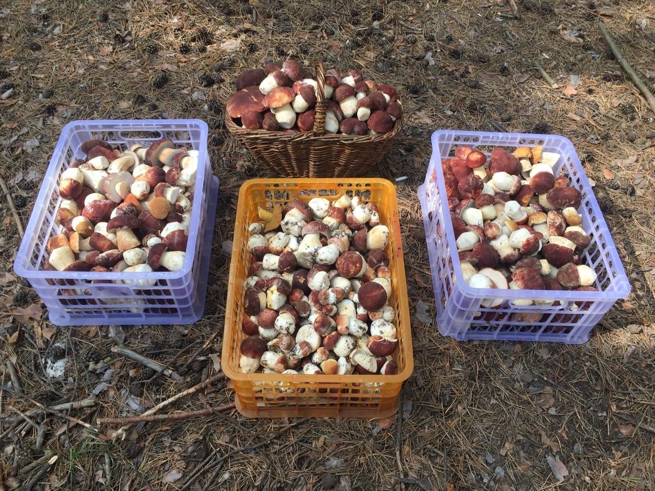 Фото «Маслят – море!»: новосибирцы вывозят из леса полные багажники грибов 4