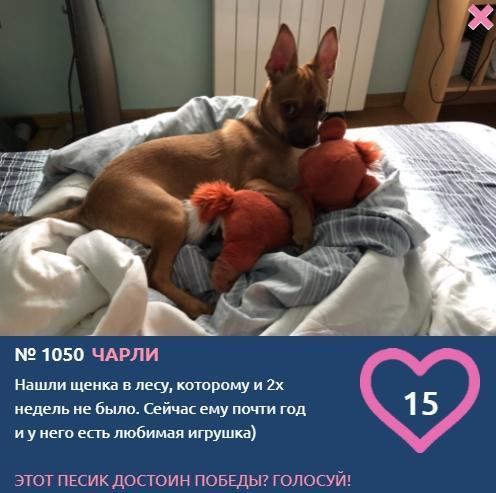 Фото «Ему и двух недель не было»: найденный в лесу Чарли борется за звание лучшего в конкурсе «Главный пёсик Новосибирска» 2