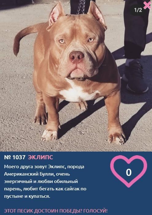 Фото «Главный пёсик Новосибирска»: рассказываем, кто такие американские булли – особенности молодой породы собак 2