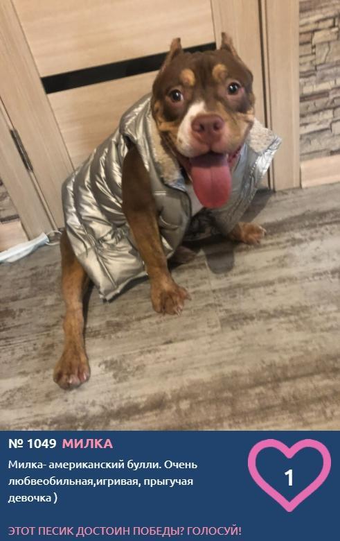 Фото «Главный пёсик Новосибирска»: рассказываем, кто такие американские булли – особенности молодой породы собак 3