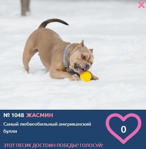 Фото «Главный пёсик Новосибирска»: рассказываем, кто такие американские булли – особенности молодой породы собак 4