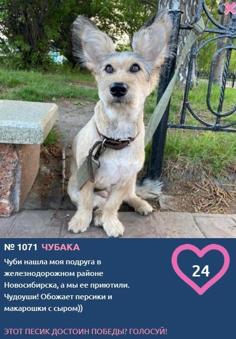 Фото «Главный пёсик Новосибирска»: Чубаку с чудо-ушами подобрали на улице и теперь кормят персиками 2
