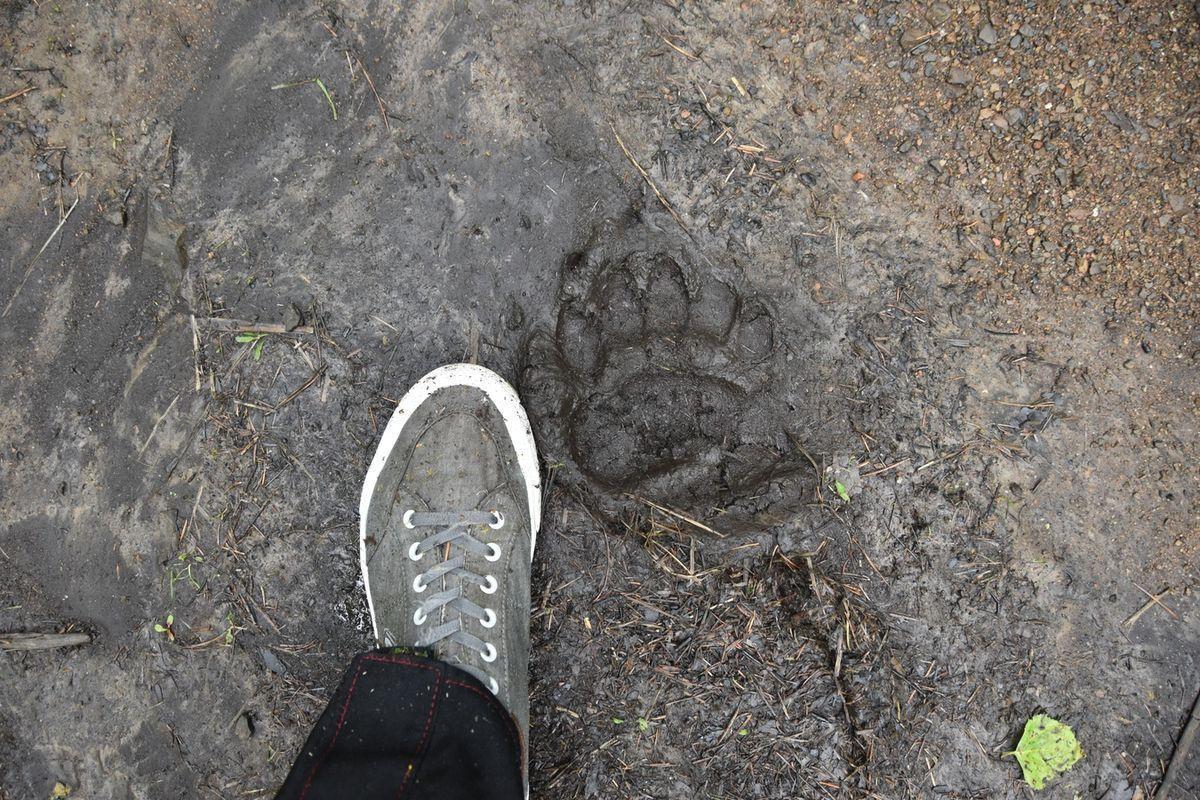 Фото «Вернётся, как проголодается»: огромный медведь-убийца держит в страхе деревню под Новосибирском 2