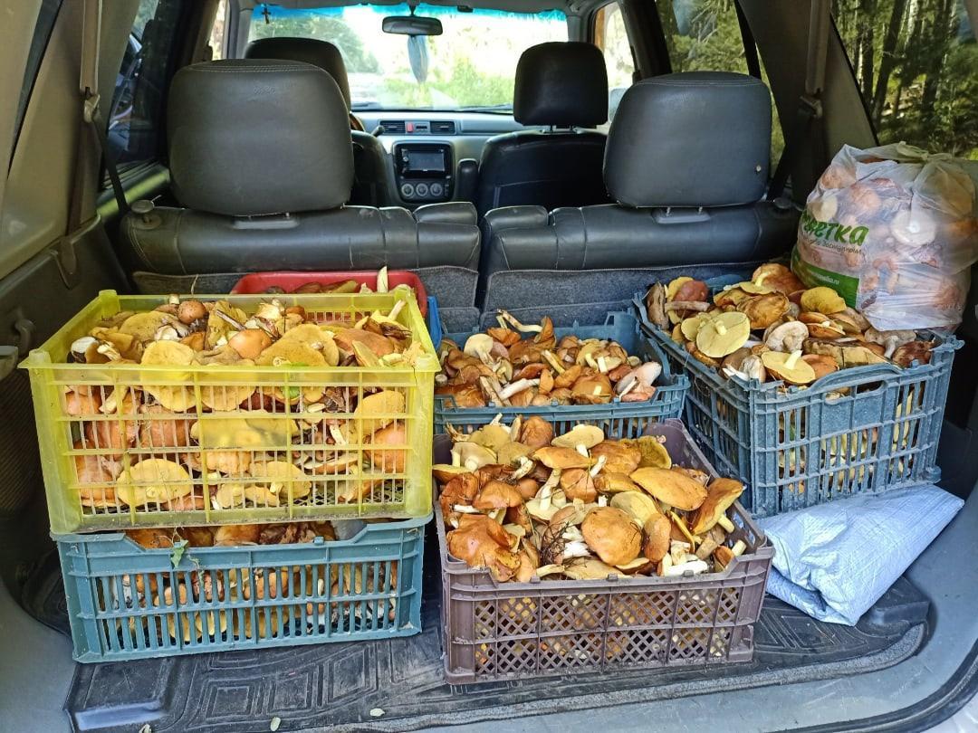 Фото «Маслят – море!»: новосибирцы вывозят из леса полные багажники грибов 3