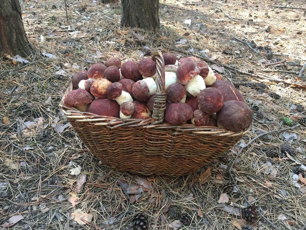 Фото «Маслят – море!»: новосибирцы вывозят из леса полные багажники грибов 2