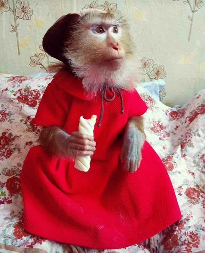 фото «Ребёнок, который никогда не вырастет»: профессиональная дрессировщица рассказала, как это - быть «мамой обезьяны» 2