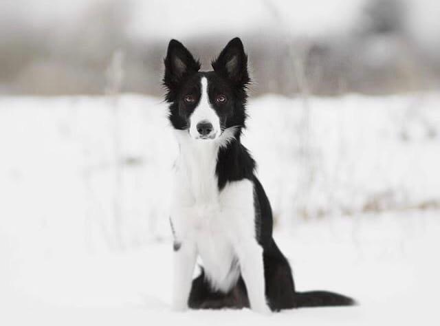 фото Девушку с умной собакой выгнали из маршрутки в Новосибирске 2
