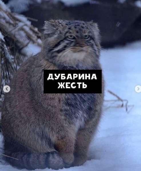 Фото Недовольный манул показал, как жители новосибирского Академгородка ждут маршрутки 4
