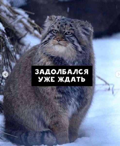 Фото Недовольный манул показал, как жители новосибирского Академгородка ждут маршрутки 3