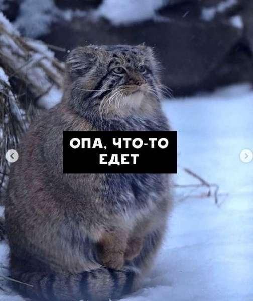 Фото Недовольный манул показал, как жители новосибирского Академгородка ждут маршрутки 6