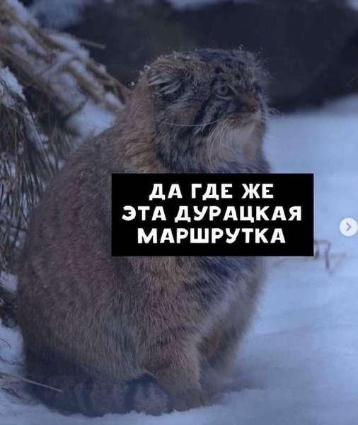 Фото Недовольный манул показал, как жители новосибирского Академгородка ждут маршрутки 2