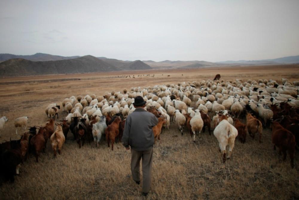 Чума и ящур в Монголии вынудили закрыть границу для молока ...