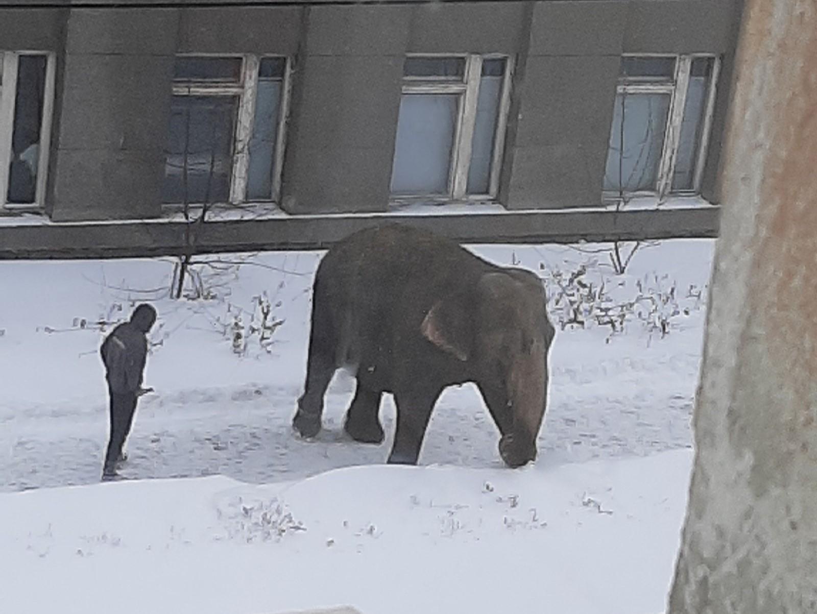 Фото Суровые уральские слоны остановили движение в Екатеринбурге 3